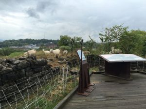 negley sheep